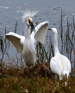 Snowy Egret with catch