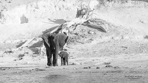 African Elephant, b&w, Chobe River, NAM, Oct 2016-5