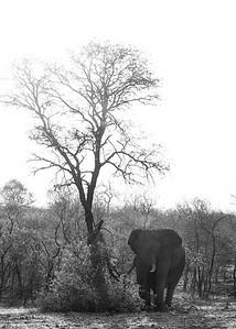 African Elephant, b&w, Sabi Sands (EP), SA, Oct 2016-1