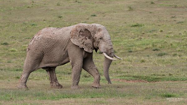 African Elephant 2, Addo Elephant National Park, EC, SA, Dec 2013 copy