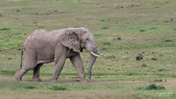 African Elephant, Addo Elephant NP, EC, SA, Dec 2013-1