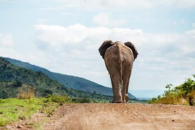 African Elephant, Pilansberg National Park, SA, Dec 2013-2