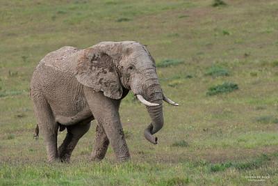 African Elephant, Addo Elephant National Park, EC, SA, Dec 2013