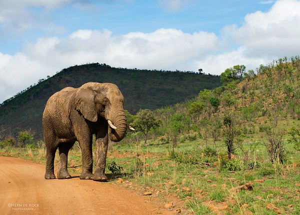African Elephant, Pilansberg National Park, SA, Dec 2013-3