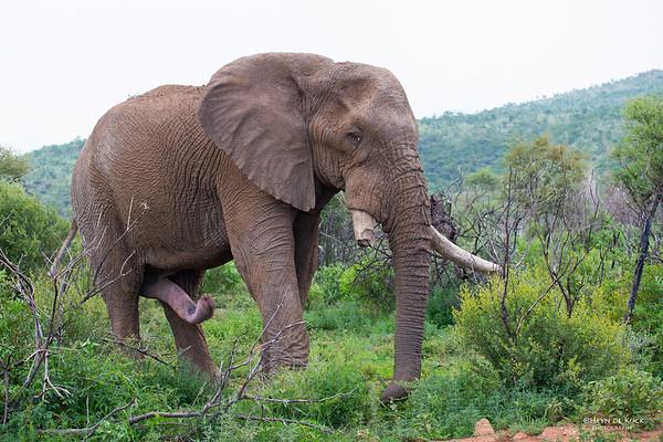 African Elephant, Pilansberg National Park, SA, Dec 2013-1 copy