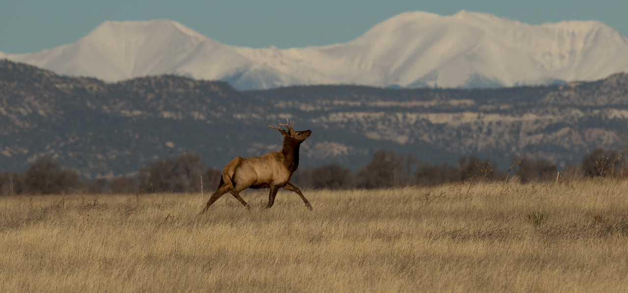 American Elk Colorado 2016 2016 11 29-1.CR2