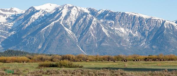 Elk at Willow Flats.