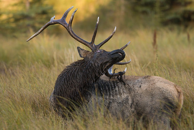 Rocky Mountain Elk
