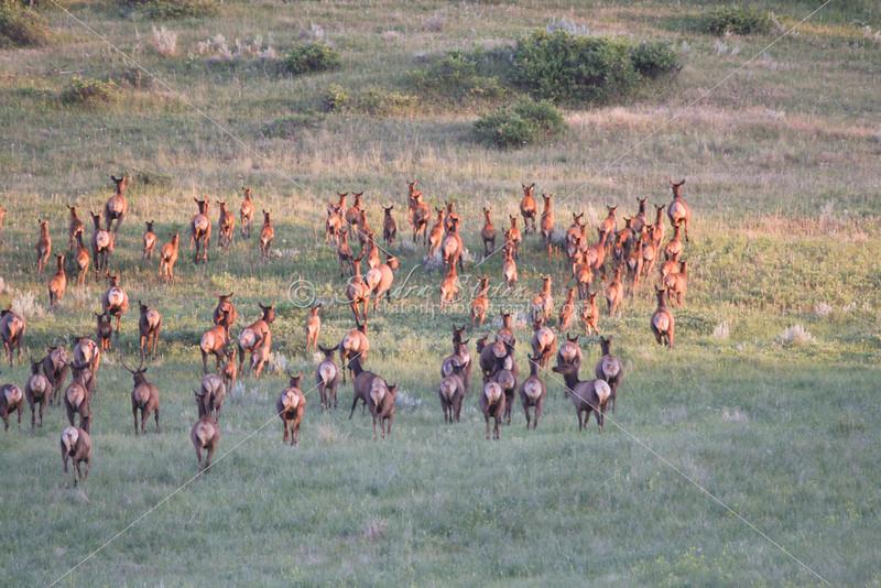 Elk Herd_SS9498