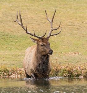 Elk Drool