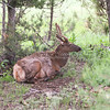 Young Bull Elk_SS7335