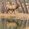 Wapiti Walking Reflection