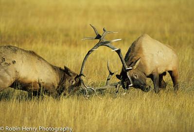 Elk-143