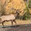 Bull on the Back Roads