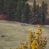 American elk fight in Montana