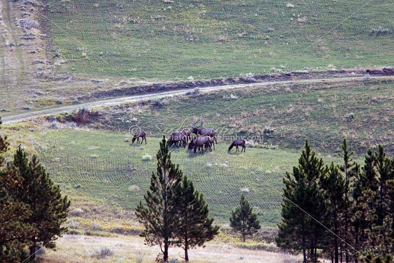 American elk herd in Montana
