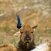 Elk Earache