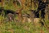 Well hidden Cow Elk resting.