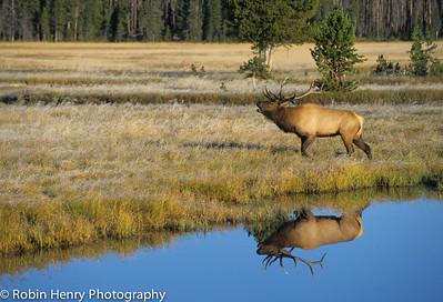 Elk-271