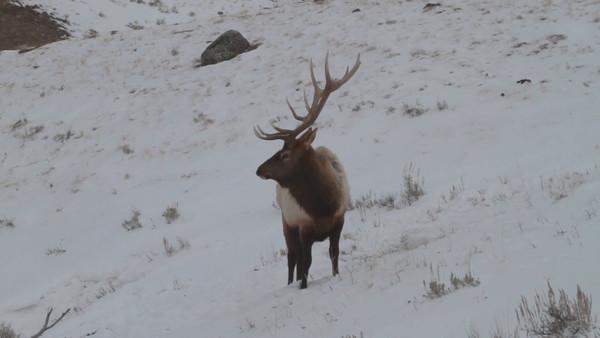 Bull Elk Foraging in the Snow