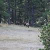 Elk Herd SS83623