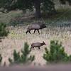 Bull elk in Montana