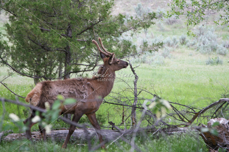 Young Bull Elk_SS7396