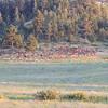 Elk Herd_SS9545