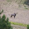 Bull Elk_SS82971