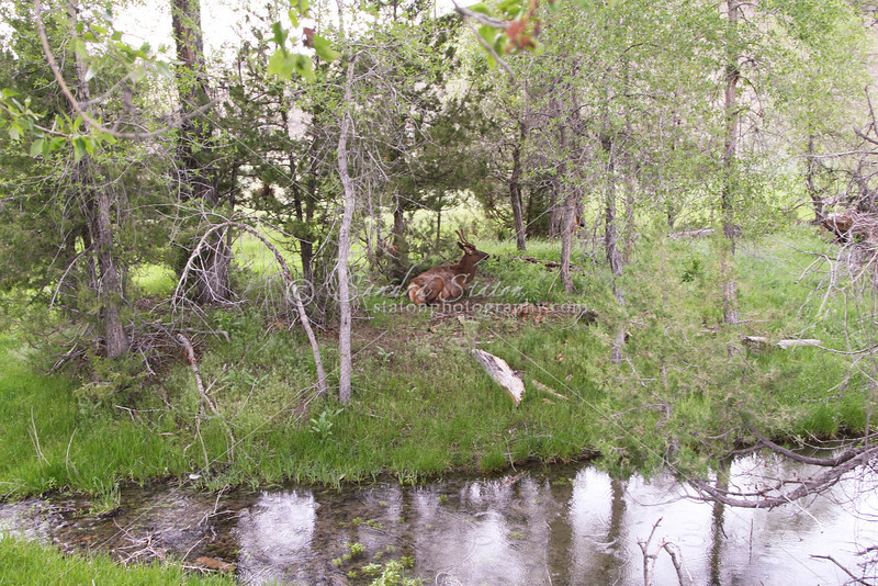 Young Bull Elk_SS7347