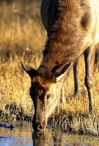 Elk-108
