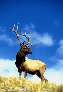 Elk-122