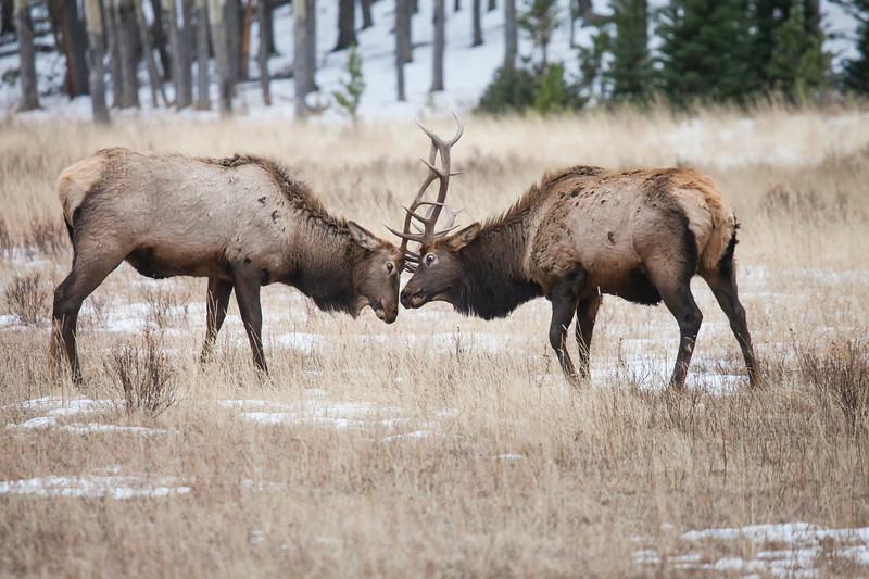 Bull Elk Jousting