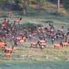 Elk Herd_SS9525