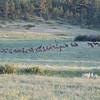 Elk Herd_SS9457