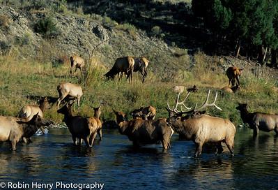 Elk-184