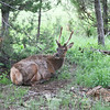 Young Bull Elk_SS7326