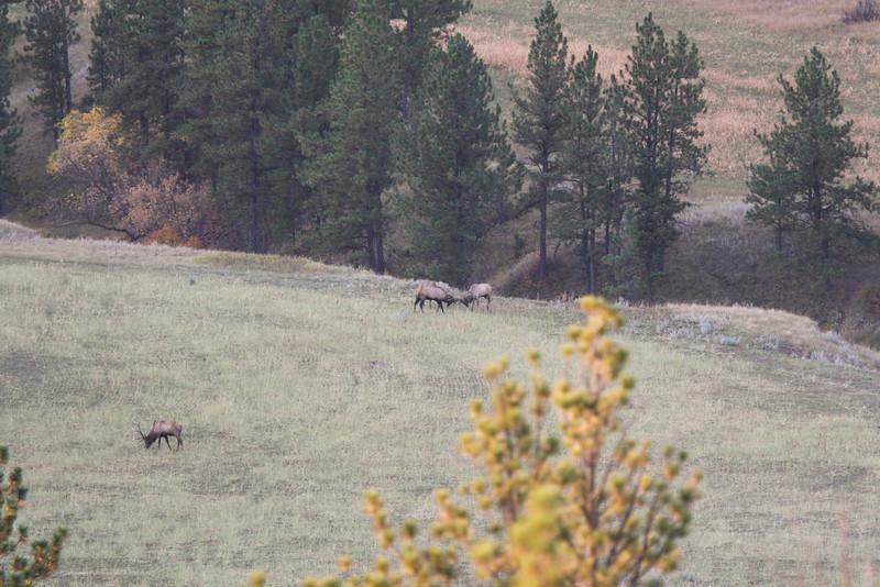 Elk Bull Fight SS83701