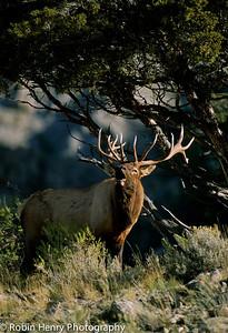 Elk-106