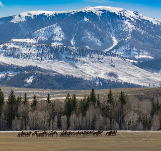 Elk Herd In Range