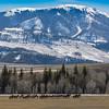 Elk Herd In Range