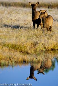 Elk-269