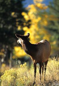 Elk-109