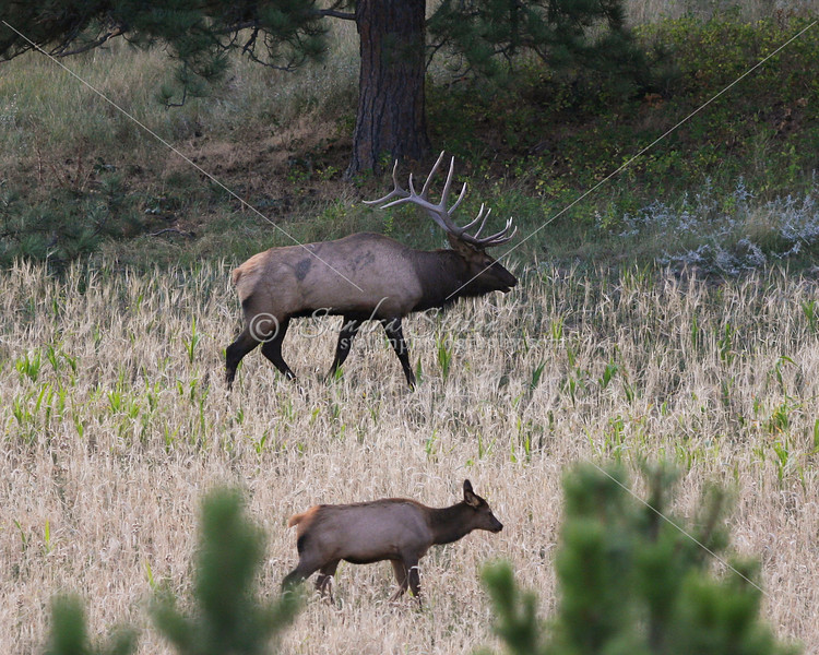 Bull elk with cow in Montana
