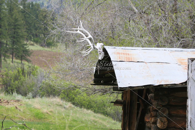 Elk skull and antlers on an old horseshoer's log cabin in Montana