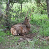 Young Bull Elk_SS7381
