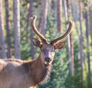 Young Bull Elk in Velvet