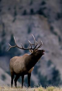 Elk-348