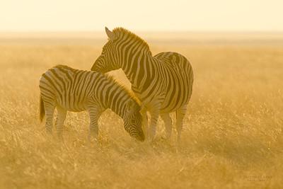 Plains Zebra, Etosha NP, Namibia, July 2011-3