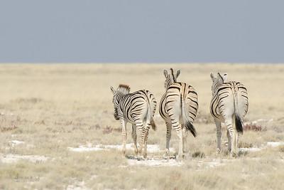 Plains Zebra, Etosha NP, Namibia, July 2011-2